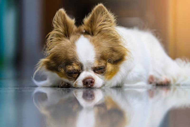 Close-up Lazy dog, Cute brown and white Chihuahua sleeping and relaxing on tiled floor royalty free stock images