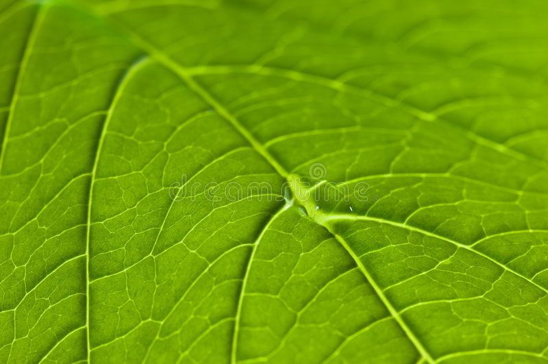 Close up of a leaf showing veins