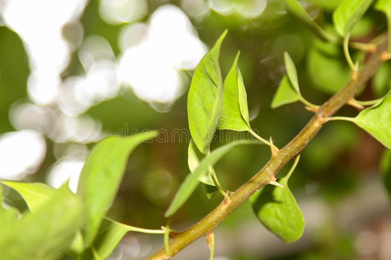 Close up leaf and stick Fuengfah plant for background. Beautiful nature green summer pink natural spring bush outdoor color bougainvillea garden beauty abstract stock photo