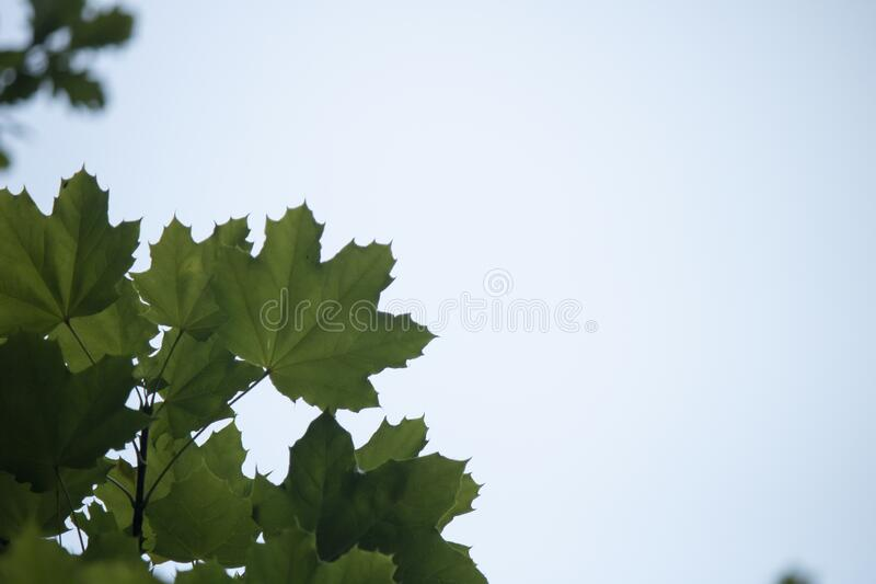 Close-up of the leaves of the Acer platanoides tree. Norway Maple, Acer platanoides, close-up of the leaves of the tree stock photos
