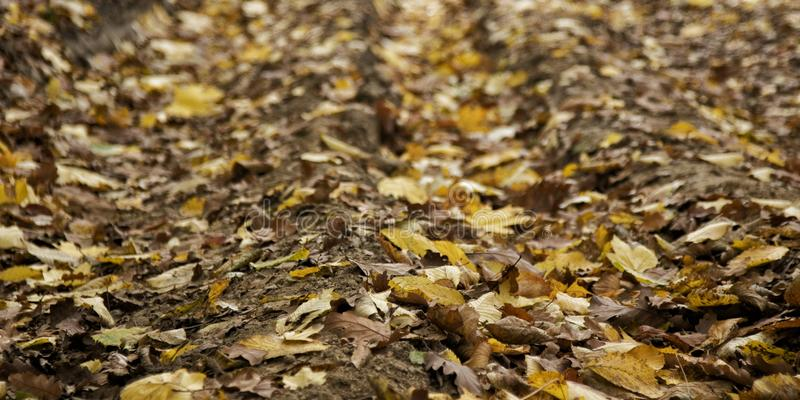 Autumn leaves on dirt road in Romanian woodland. Close-up of leaves in autumn yellow brown colours on dirt road track in Romanian forest woodland royalty free stock image