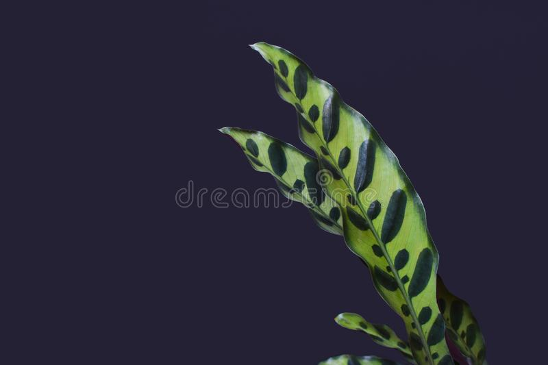 Close up of leaves of tropical `Calathea ancifolia` plant, also called `Rattlesnake Plant` with exotic dot patterns in front of da. Close up of leaves of royalty free illustration