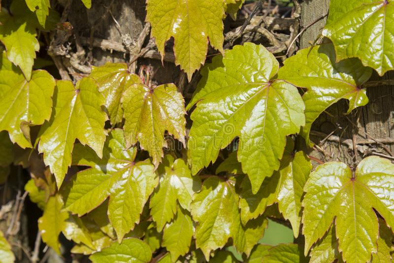 Close-up of leaves of a virginia creeper climbing over a wooden stock photography
