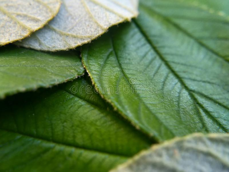 Close up leaves of zyziphus mauritiana for health therapy isolated  on withe background. Green, sidr, bidara, mauritania, macro royalty free stock photography