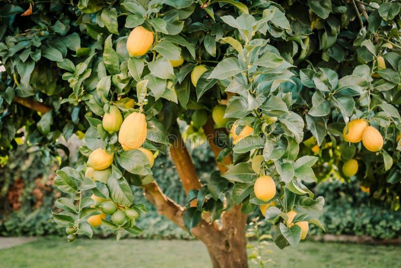 Backyard lemon tree full of healthy citrus fruit royalty free stock image