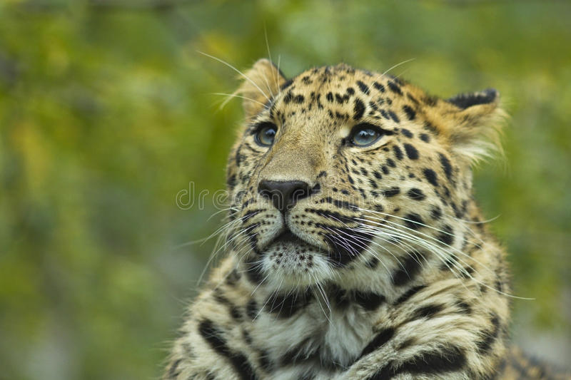 Download Close-up of a leopard 1 stock image. Image of tree, serengeti - 21543275