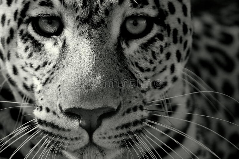 Close up of a leopard. Black and white macro of a leopards face royalty free stock image