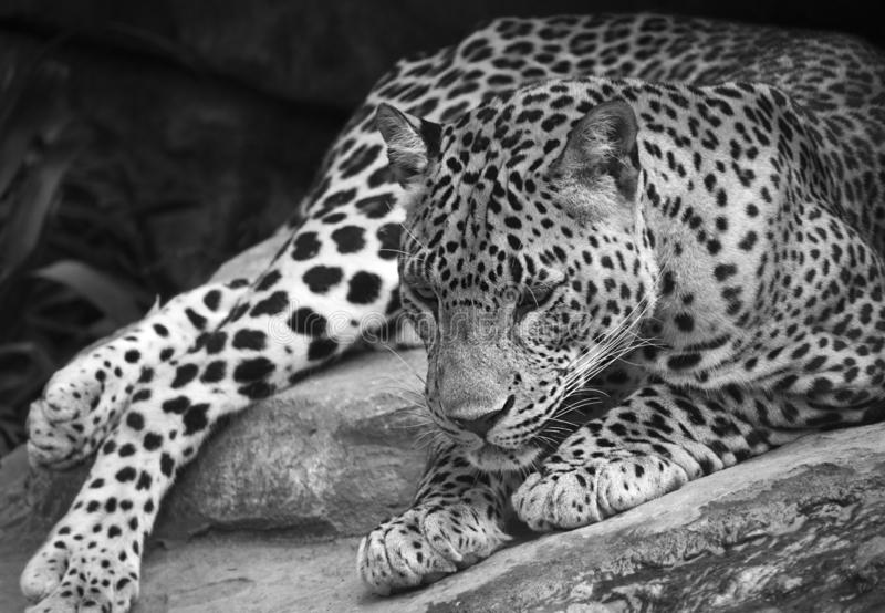 Close up of a leopard lying on the ground royalty free stock images