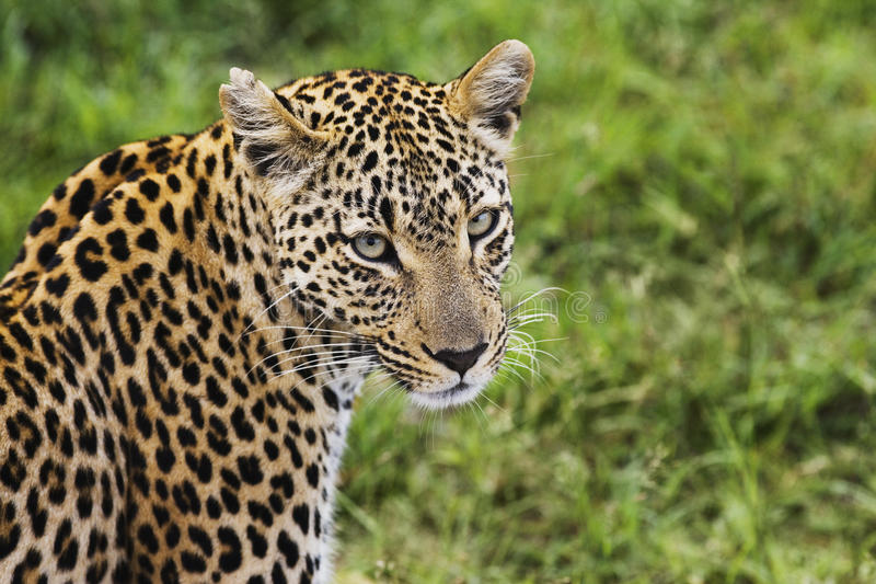 Close-up of leopard (Panthera pardus) looking at camera royalty free stock image