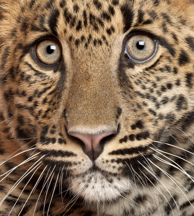 Close-up of Leopard, Panthera pardus stock photos