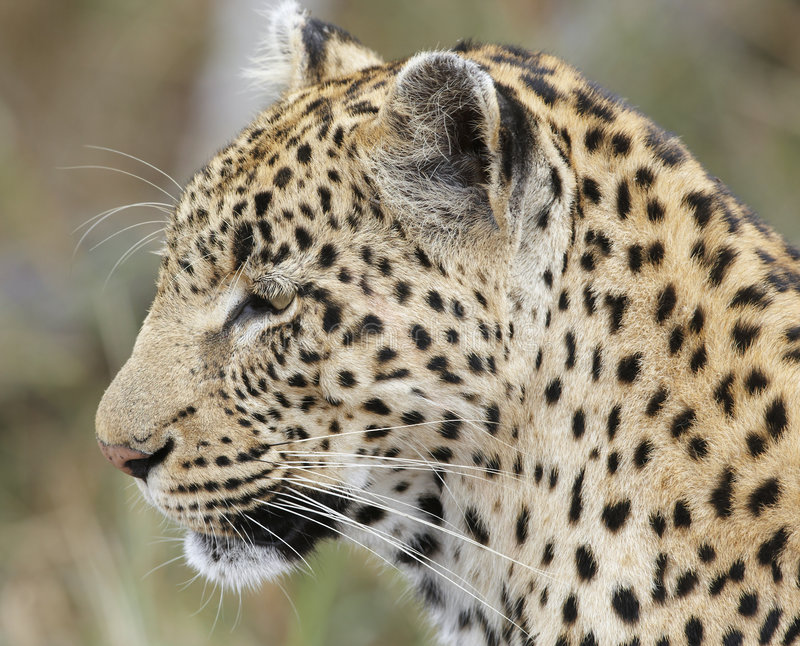 Download Close-up Of Leopard; Panthera Pardus; South Africa Stock Image - Image: 6068525