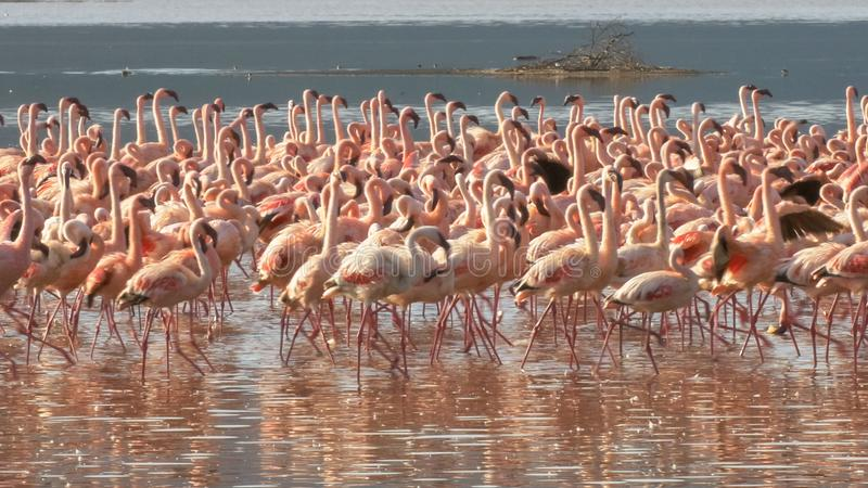 Close up of lesser flamingos marching on the shore of lake bogoria in kenya stock photography