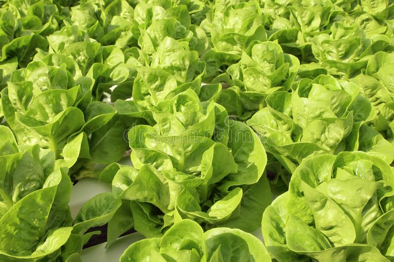 Close up lettuce plants growing in the garden, fresh green hydroponic vegetable stock images