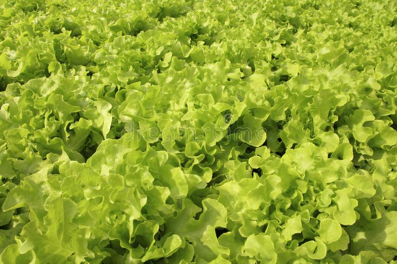 Close up lettuce plants growing in the garden, fresh green hydroponic vegetable royalty free stock photography