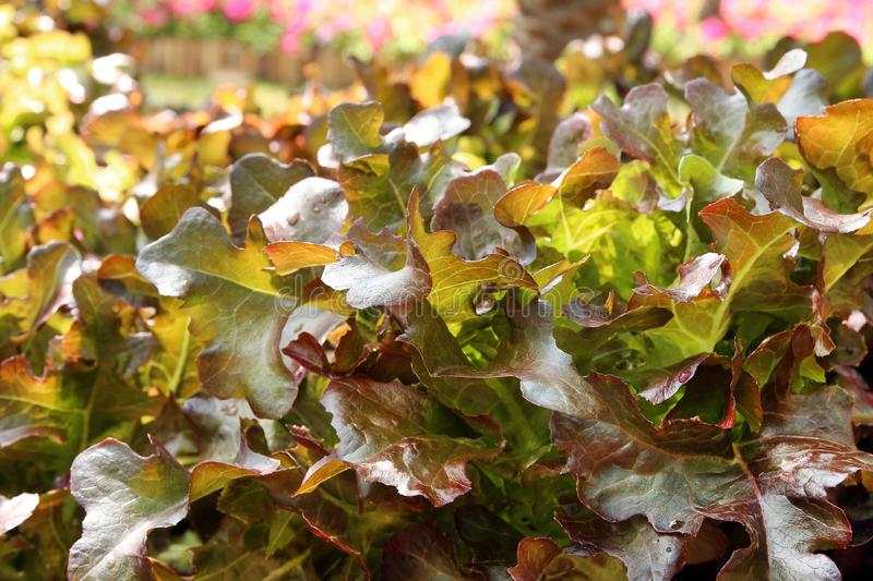 Close up lettuce plants growing in the garden, fresh red hydroponic vegetable royalty free stock photos
