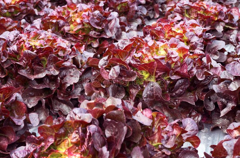 Close up lettuce plants growing in the garden, fresh red hydroponic vegetable stock photo