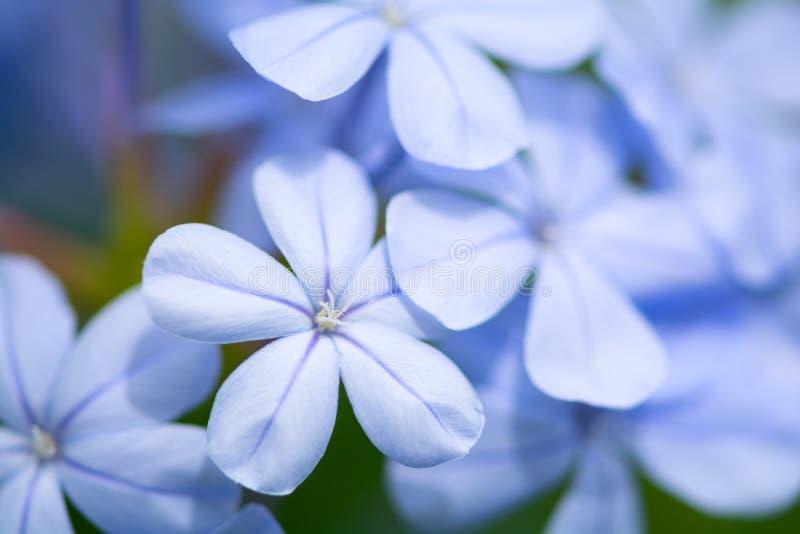Close up of light blue jasmine or plumbago Ixora flower. Nature background. Soft focus.  royalty free stock photos