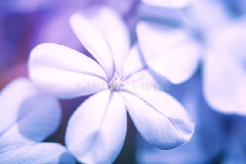 Close up of light blue jasmine or plumbago Ixora flower. Nature background. Soft focus.  stock photo