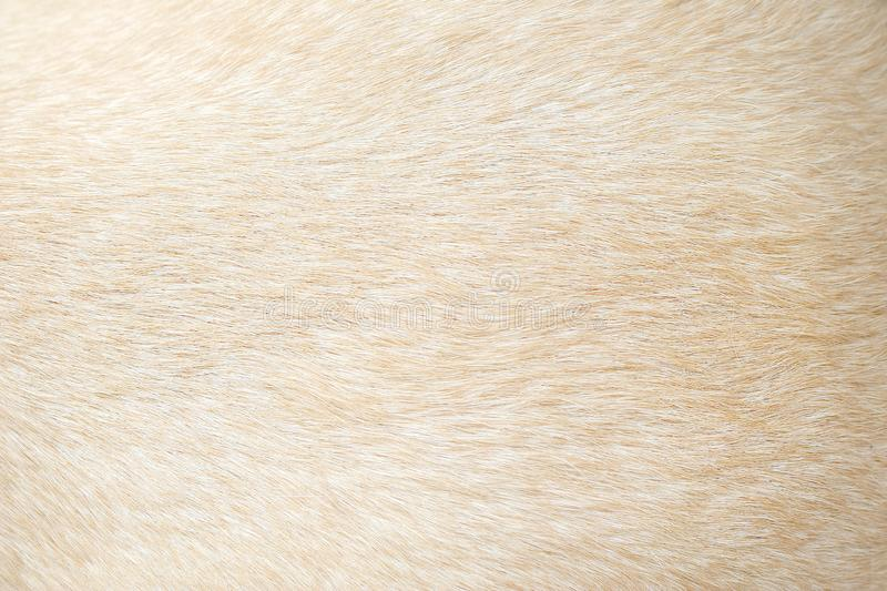Light brown dog fur patterns texture , Nature animal background. Close up Light brown dog fur patterns texture , Nature animal background royalty free stock image