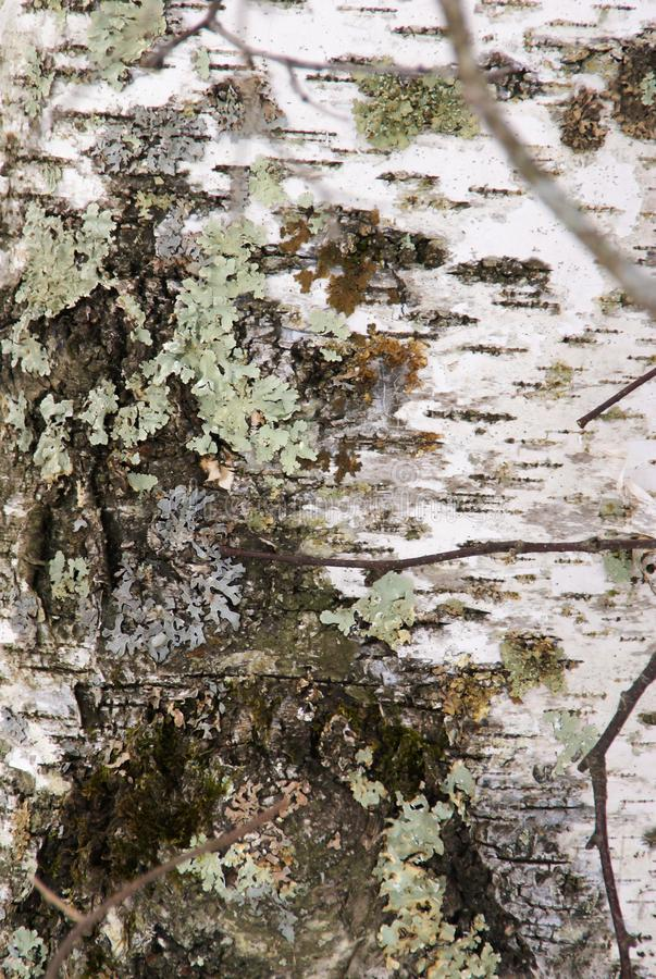 Close up view of light green lichen and moss on a white birch tree trunk in Minnesota stock photography