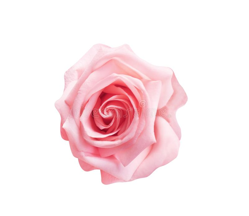 Light pink rose flowers blooming top view isolated on white background with clipping path , nature patterns stock photos