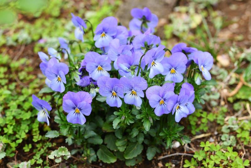 Light purple violas in the garden stock photos