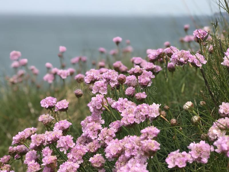 Thrift flowers royalty free stock photography