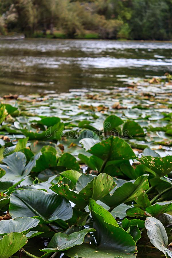 Close up of lily pads on a lake. Close up of lily pads floating on a reflective lake stock photo