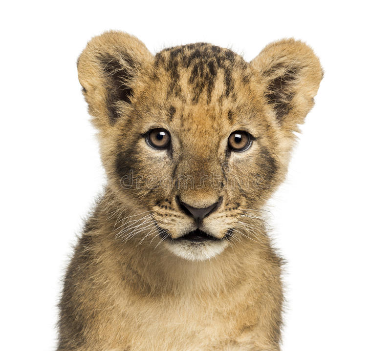 Close-up of a Lion cub looking at the camera, 10 weeks old stock photography