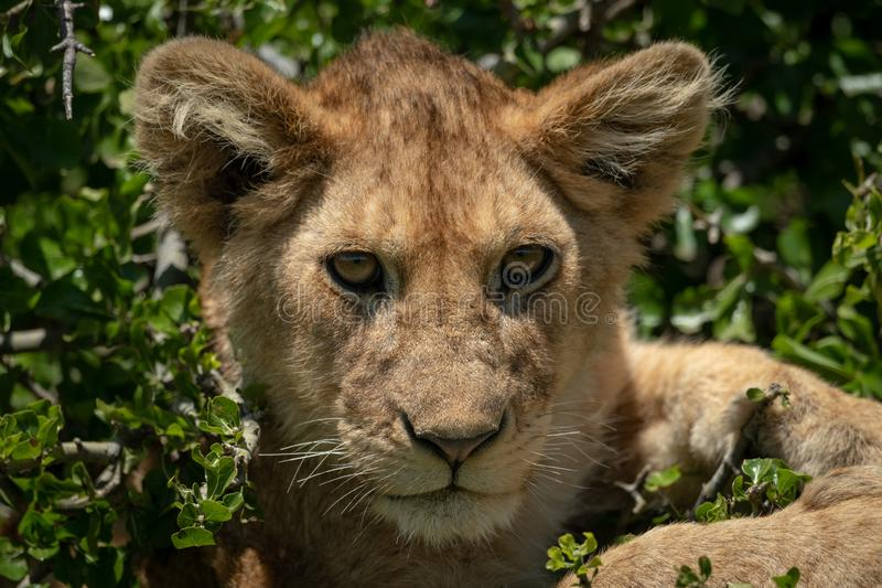 Close-up of lion cub in tree lying stock photos