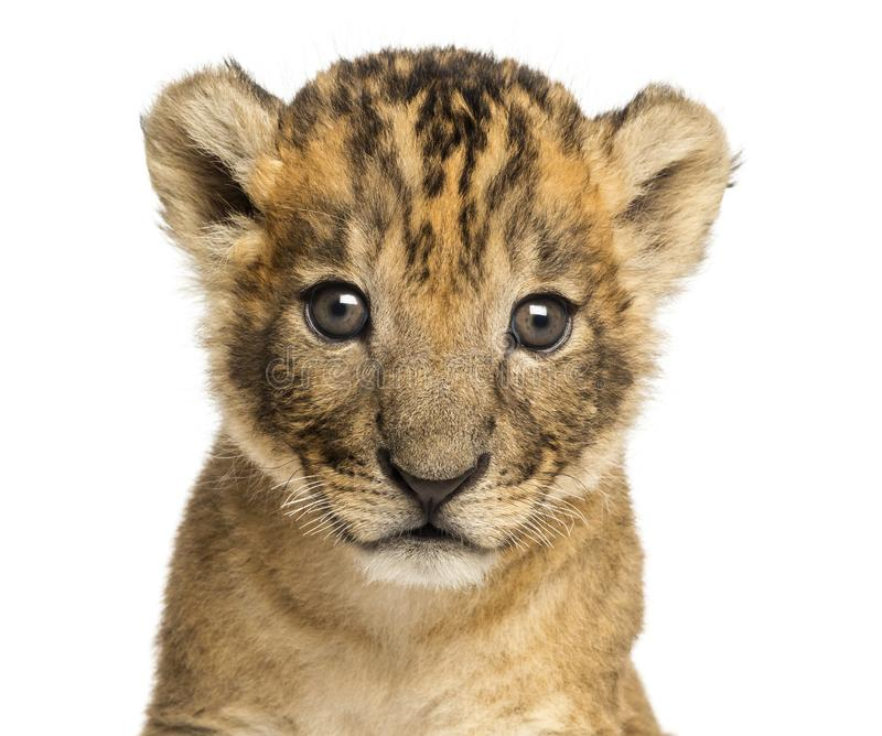 Close-up of a Lion cub, 4 weeks old, isolated royalty free stock photography