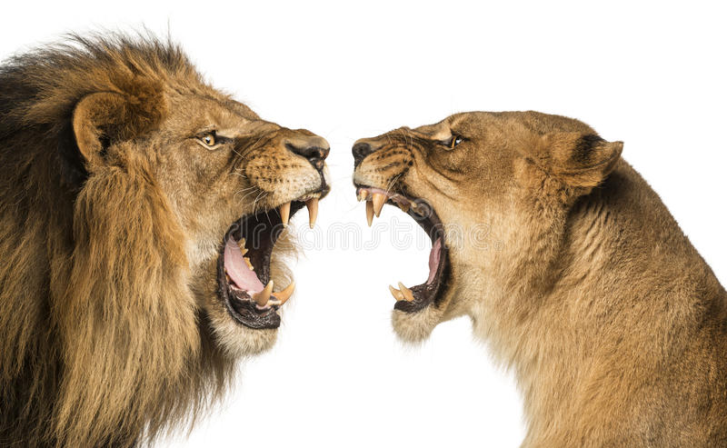 Close-up of a Lion and Lioness roaring. At each other stock image