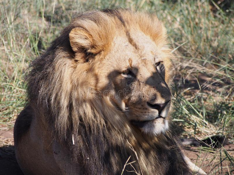 Close-up of a lion lying on the Botswana plain royalty free stock photos