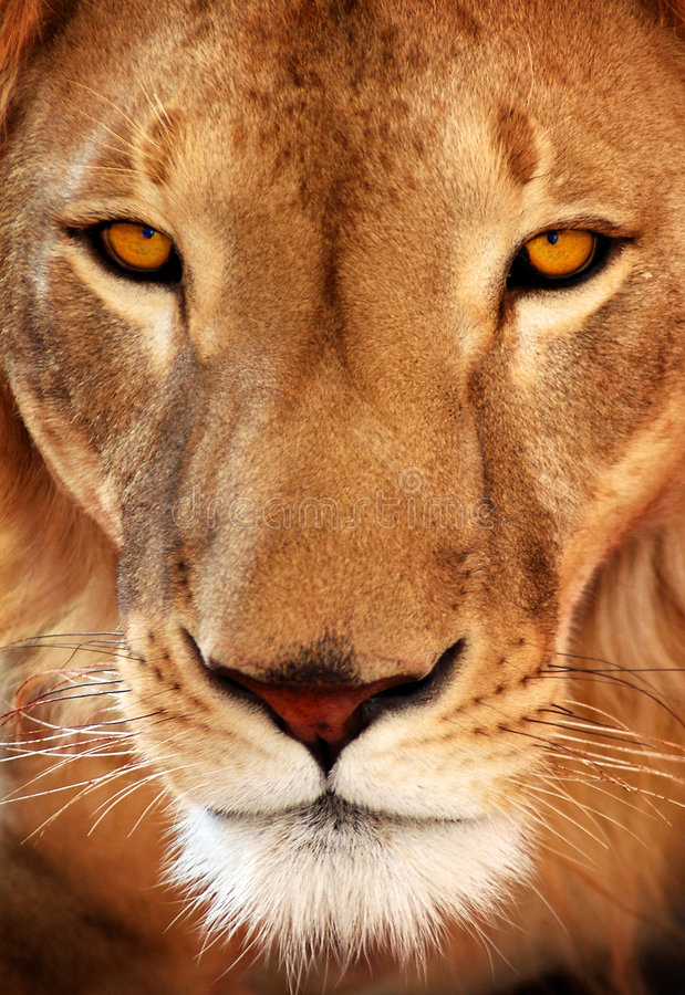 Download Close up lion portrait stock image. Image of close, whiskers - 8077723