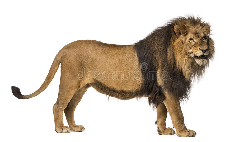 Close-up of a Lion roaring, Panthera Leo, 10 years old, isolated royalty free stock photos