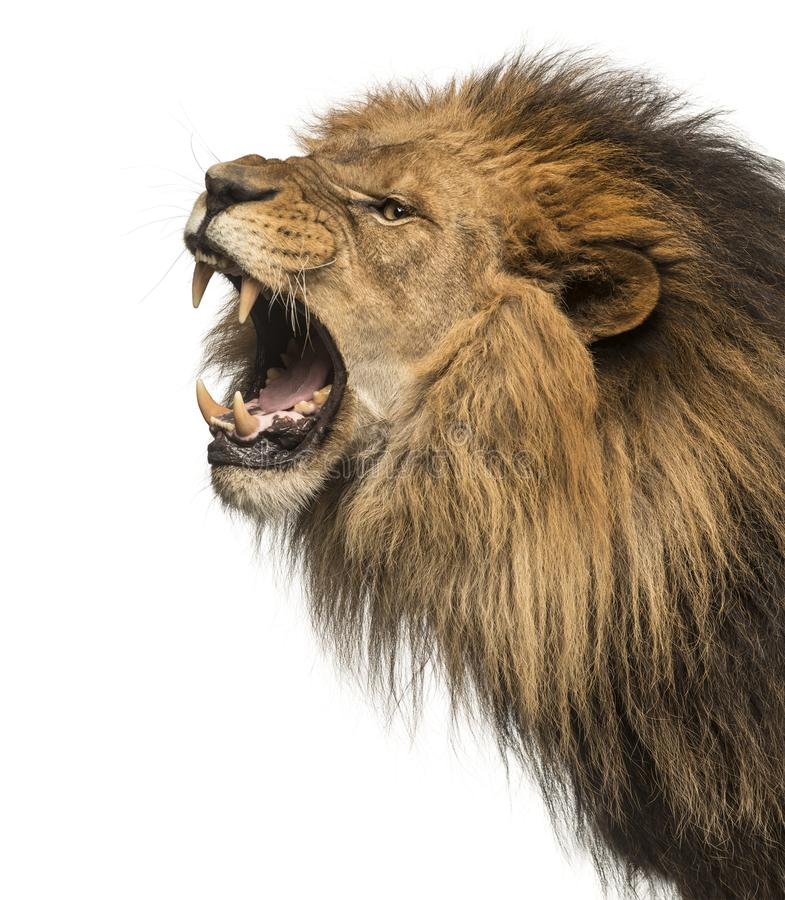 Close-up of a Lion roaring profile, Panthera Leo, 10 years old, royalty free stock image