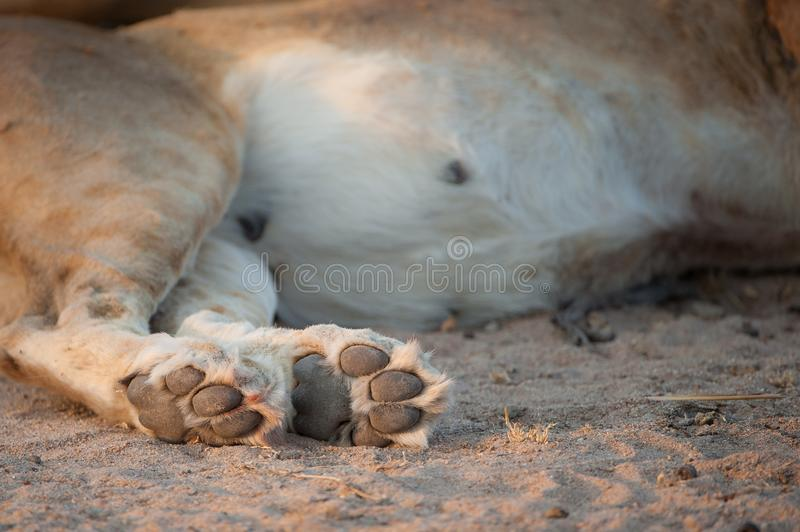 A close up of a lion`s paw pads in side light. stock photos