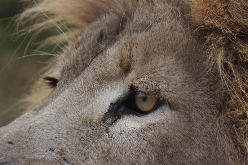Close Up Lion. This is a close up shot of a male lion looking into the distance. You can see the blue sky in the upper part of his left eye royalty free stock photos