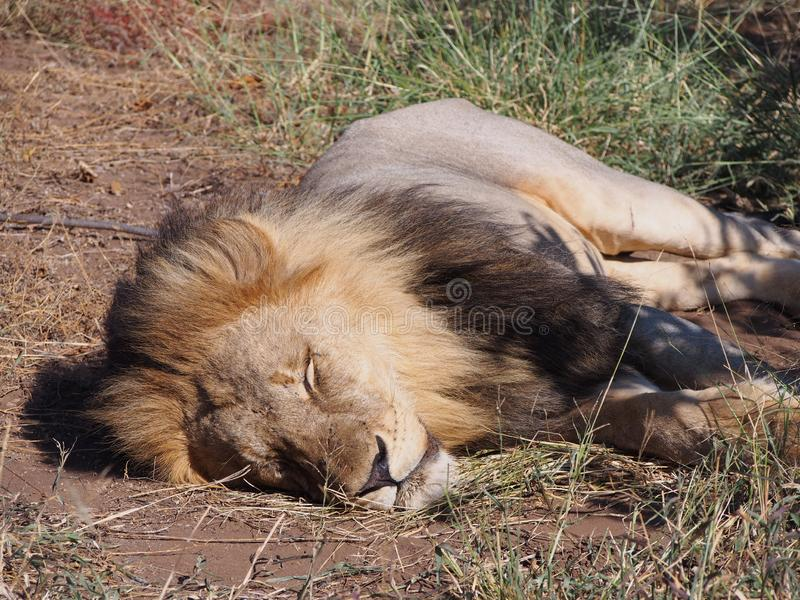 Close-up of lion sleeping in the sun on the Botswana plain. stock images