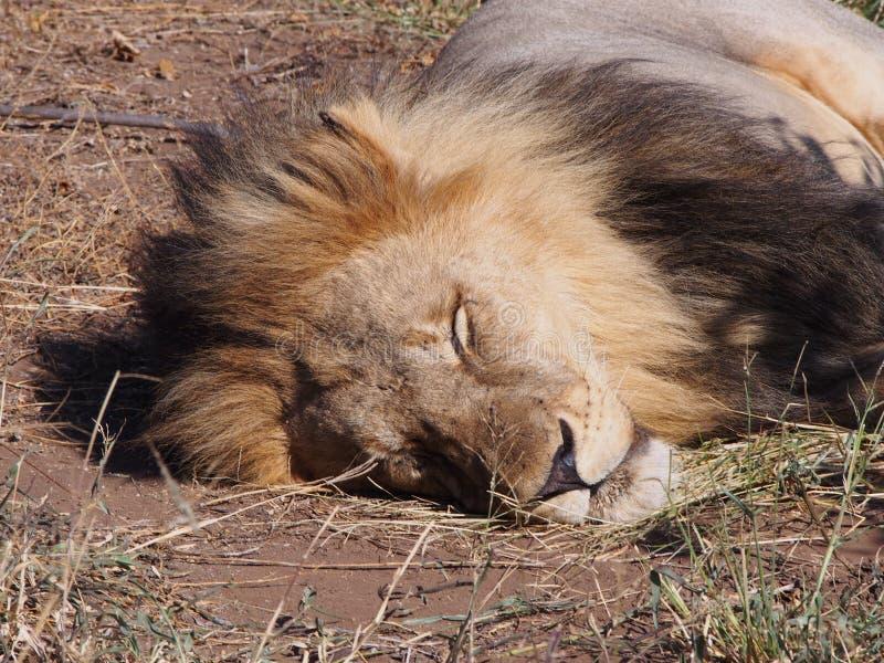 Close-up of lion sleeping in the sun on the Botswana plain. stock photos