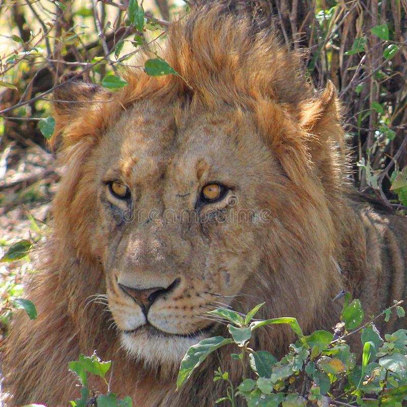 Close up of lion in the wilderness stock photography