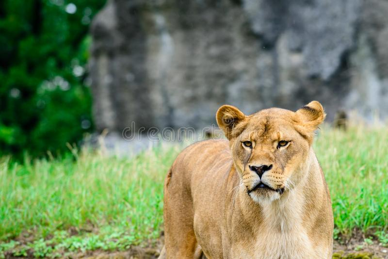 Close-up lioness examines the neighborhood royalty free stock image