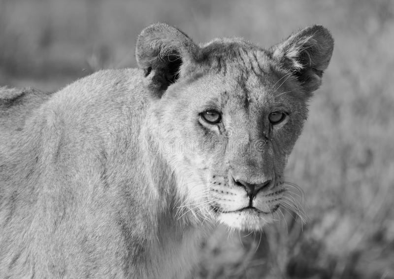 Close up of a lioness head in black & white. A close-up mono portrait of a lone lioness head on the African savannah stock photo