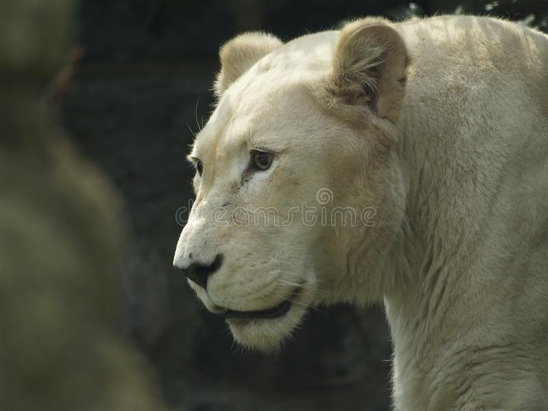 Close Up of Lioness Walking royalty free stock photography