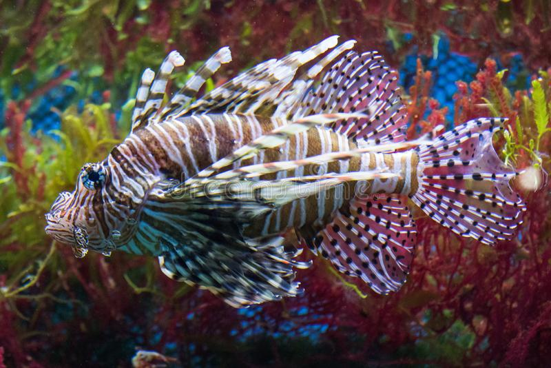 Close up on a lionfish. Close up on a red lionfish - coral reef fish stock image