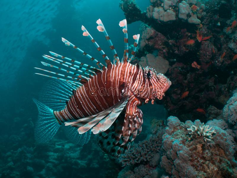 Close-up of a Lionfish. On a coral reef in the Red Sea, Egypt royalty free stock images