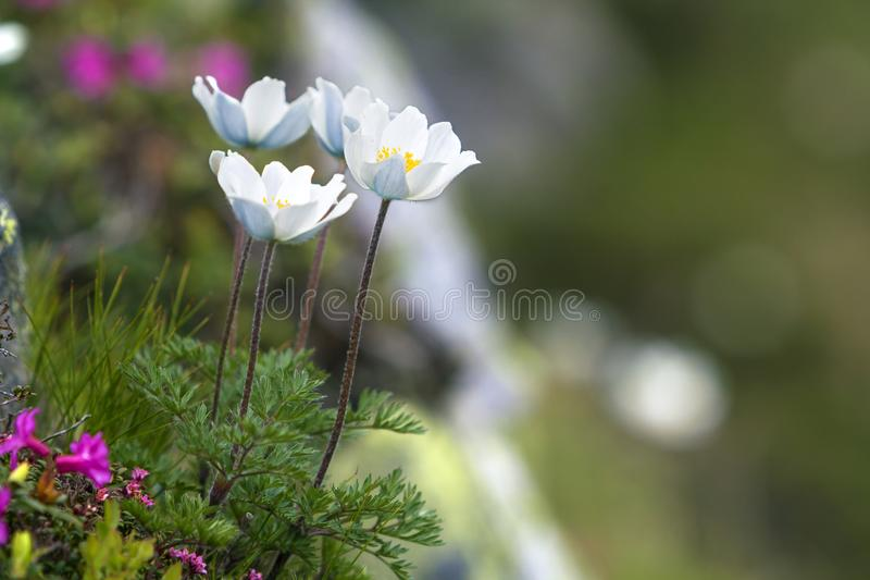Close-up of lit by sun nice white flowers on high stems with ten royalty free stock image