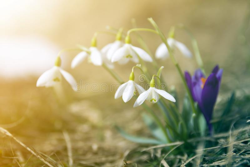 Close-up of lit by sun nice white snowflake spring flowers on high stems with tender green leaves blooming on mountain slope on stock image