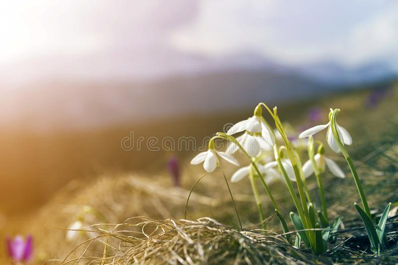 Close-up of lit by sun nice white snowflake spring flowers on high stems with tender green leaves blooming on mountain slope on stock photo