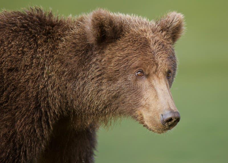 Close-up litoral do urso de Brown fotografia de stock